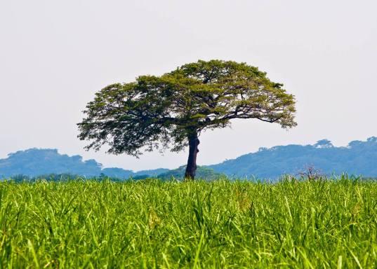 Ceiba Pentandra, arbol nacional, en Escuintla - foto por Hector Lopez Dynamics