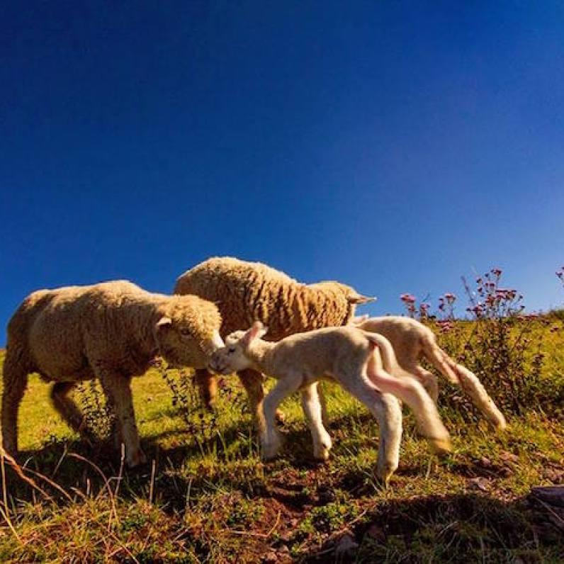 Ovejas en Cuchumatanes, Huehuetenango - foto por Edgardo Cumez de Pasion Fotografica