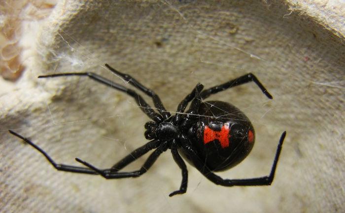 Viuda Negra - Conoce los 5 animales más peligrosos de Guatemala
