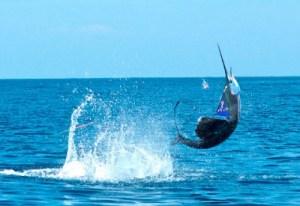 Pez vela 2 foto por visitguatermala 300x206 - El mejor manto de peces vela del mundo está en Guatemala