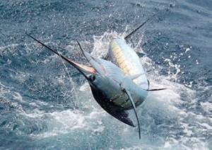 Pez vela 4 foto por visitguatermala 300x212 - El mejor manto de peces vela del mundo está en Guatemala