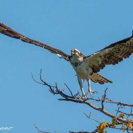 Águila Pescadora o Osprey en aldea Madre Vieja, Monterrico, Santa Rosa - foto por Luis Búrbano