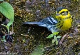 chipe reinita o townsends warbler en reserva rey tepepul santiago atitlan solola foto por luis burbano - Galeria de Fotos de Guatemala por Luis Búrbano