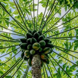 comida - Papayas - foto por Hugo Altán