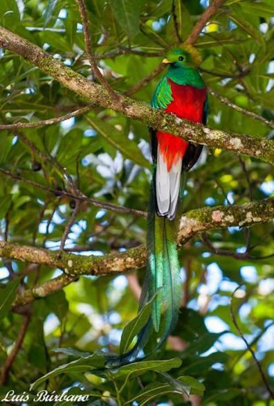 el quetzal 2 foto por luis burbano - Galeria de Fotos de Guatemala por Luis Búrbano
