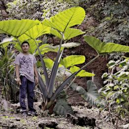 Planta de Malanga en Petén - foto por Rony Rodriguez - www.petenenfotos.blogspot.com