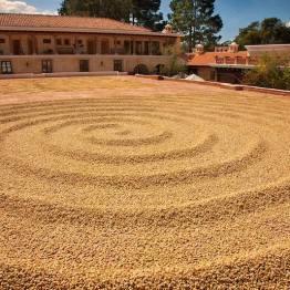 Secado de café en la Finca Filadelfia, La Antigua Guatemala - foto por Edgar Monzon
