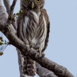 Tecolotito - Ferruginous pygmy owl, en sitio arqueológico Guaytan, El Progreso - foto por Luis Búrbano