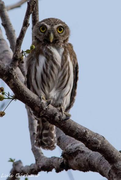 tecolotito ferruginous pygmy owl en sitio arqueologico guaytan el progreso foto por luis burbano - Galeria de Fotos de Guatemala por Luis Búrbano
