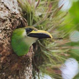 Tucán Esmeralda en Tikal - foto por Rony Rodriguez