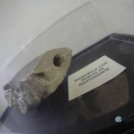 Mandibula de mastodonte con molares incrustados