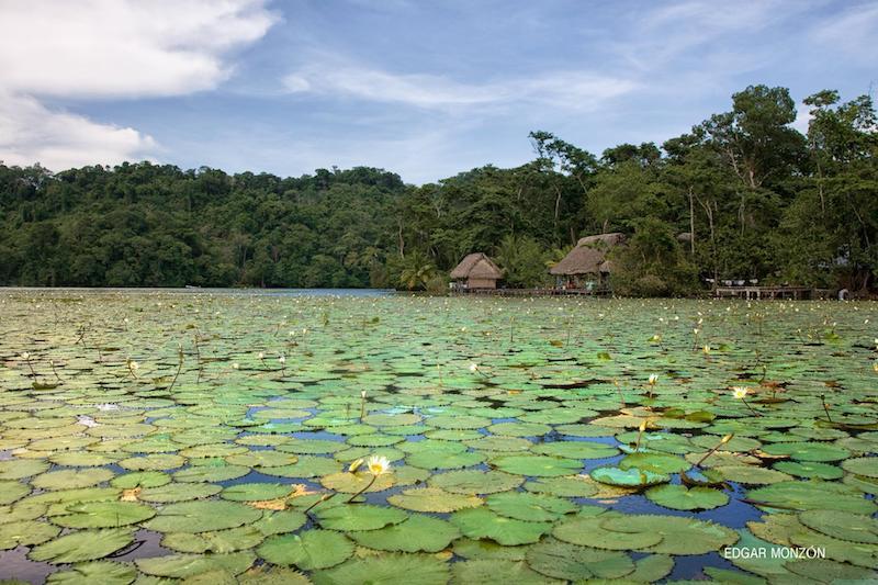 ninfas en rio dulce izabal foto por edgar monzon - El Río Dulce de Izabal