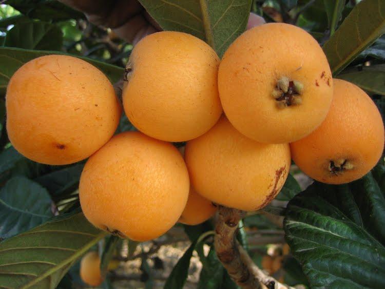 nisperos - 10 Frutos nativos de Guatemala