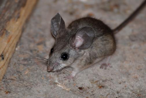 pinyon mouse - Animales que sólo han existido en Guatemala