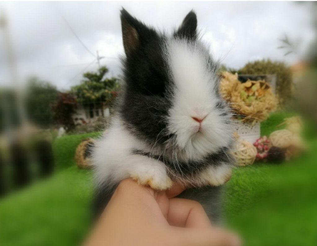 Tambor conejo Cabeza de leon Lionhead enano blanco y negro