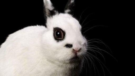 Razas de Conejos enanos, conejo hotot