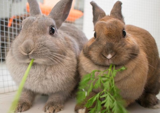 ¿Qúe comen los conejos enanos? Conejos comiendo perejil.