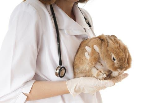 Enfermedades más comunes en los conejos enanos - veterinara con conejo en las manos