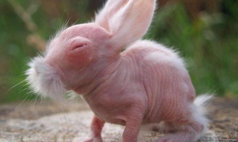 Conejo sin pelo - Hairless rabbit. Razas de conejos