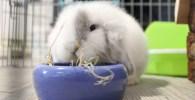 Grey conejo enano Belier blanco comiendo