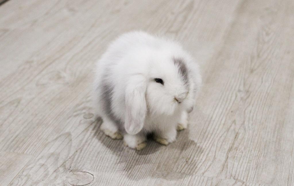 Grey, mi conejo enano de raza Belier blanco y gris - los conejos enanos