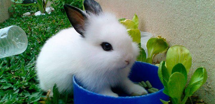 Conejo Blanco comiendo