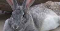 raza de conejo gigante de Flandes