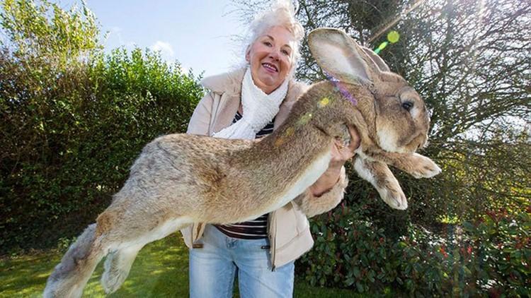 Darius, el conejo más grande del mundo