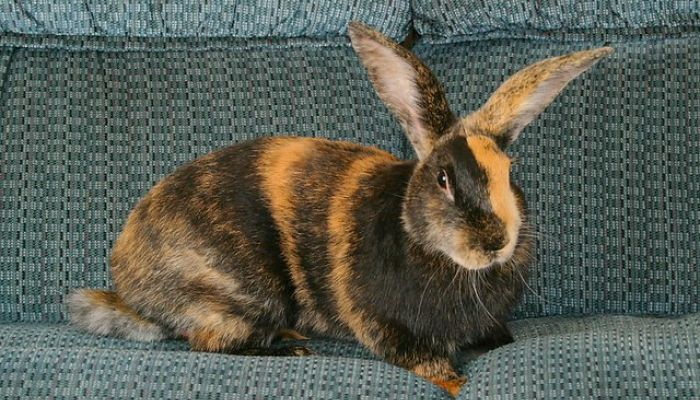 Conejo Arlequin