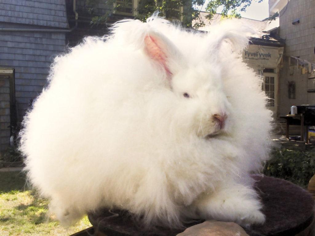 raza de conejos blanco gigante y peludo