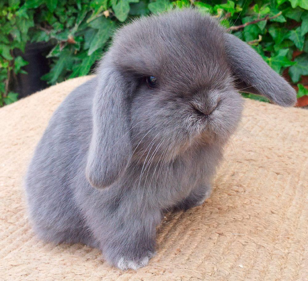 conejo gris de orejas caídas
