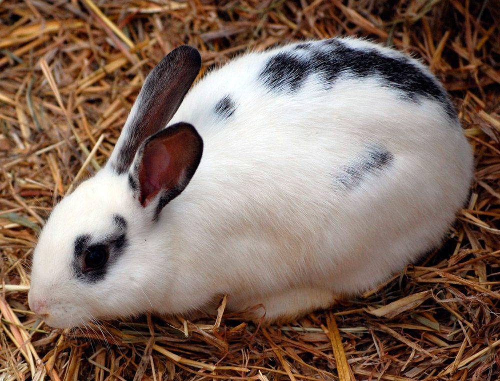 raza de conejos english spot