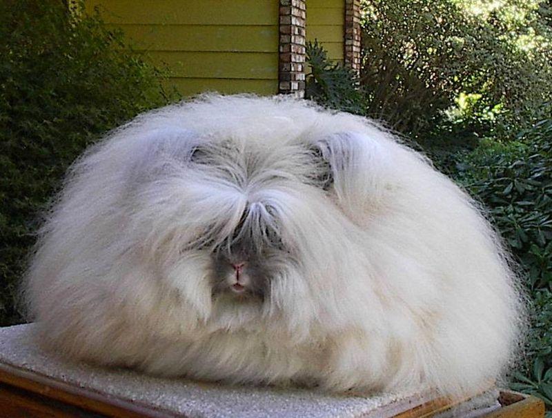 conejo peludo gigante blanco y gris
