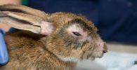 Sintomas de un conejo enfermo