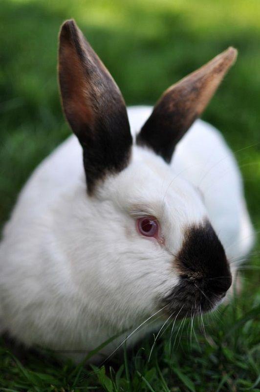 Conejito blanco y negro - razas de conejos