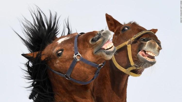 Usando el sistema de codificación de acción facial equina, los investigadores descubrieron que los caballos pueden hacer 17 expresiones faciales