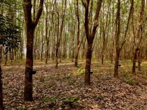 photos of buengkan rubber trees