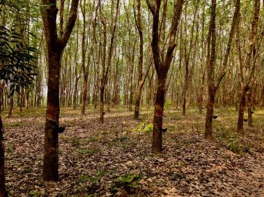 photos of buengkan rubber trees