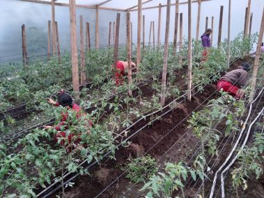 women inside of a greenhouse checking on the tomato plants
