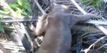 Chupacabra? O que é a misteriosa criatura de Bornéu?