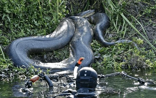 Qual é a Maior cobra do Brasil