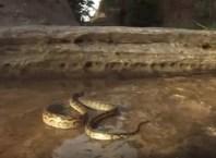 Exército de formigas atacam cobra píton quando passava pelo formigueiro