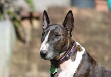 Bull Terrier - Características e curiosidades sobre a raça