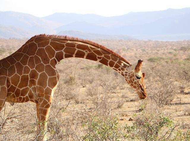 Pouca pressão na cabeça da girafa
