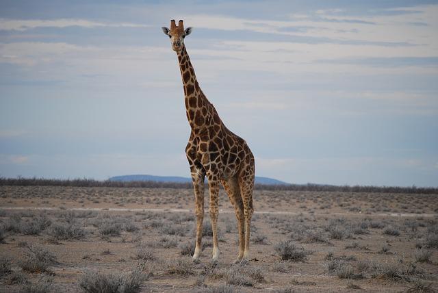 Descanso mínimo da girafa