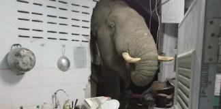 Elefante arromba parede de cozinha para roubar comida na Tailândia