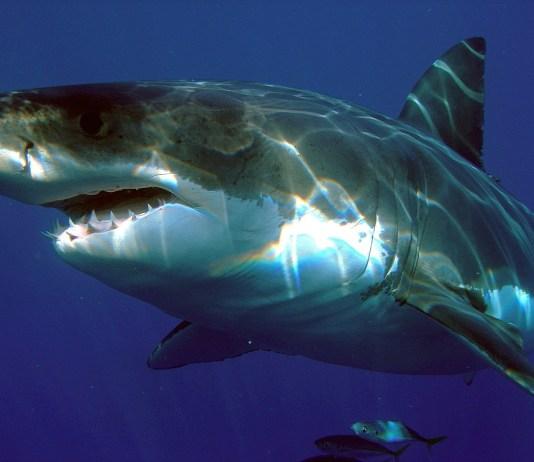 Por que o tubarão-branco não pode ir para o cativeiro