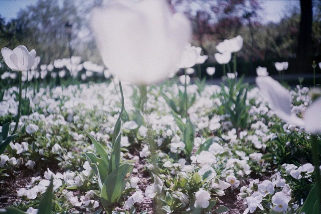 Tulipanes Blancos - LCA