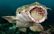 El tiburón de Suelo de Timor.