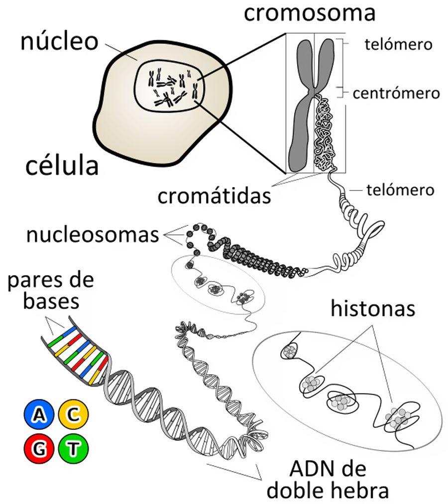 celula y ADN - ¿VIRUS FÓSILES EN EL ADN HUMANO? ¿DARWIN, MUTACIÓN, O ALGO MÁS?